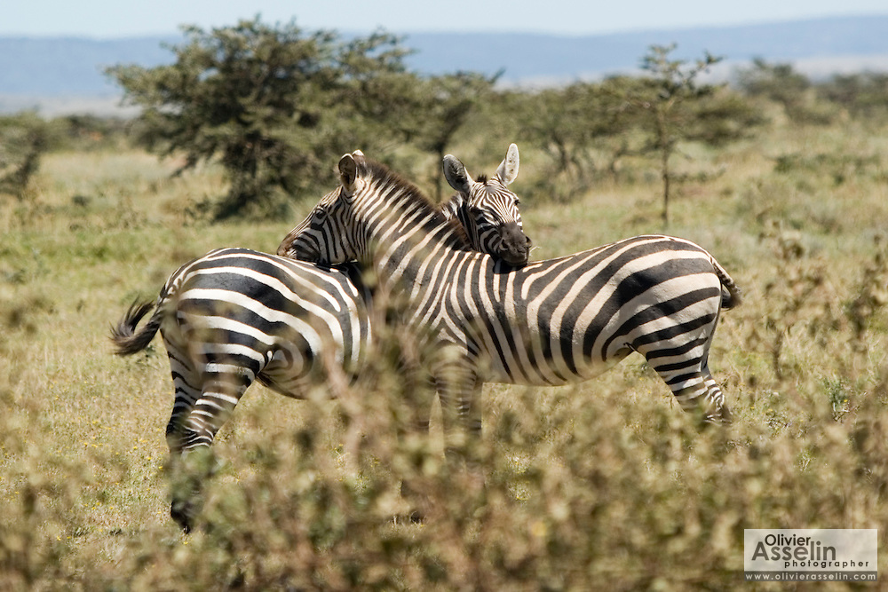 Two zebras resting heads on each other's back, Masai Mara, Kenya