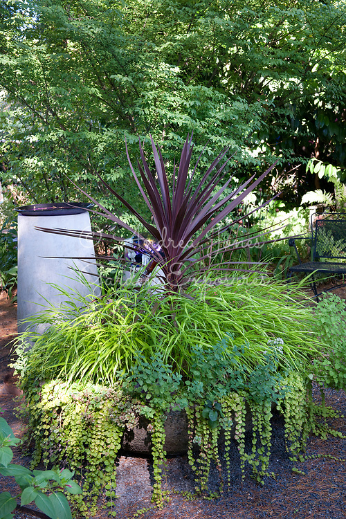 Large container with a purple Cordyline, ornamental grasses and Golden creeping jenny (Lysimachia nummularia &lsquo;Aurea&rsquo;)<br /> <br /> Nancy Goldman's recycled garden (Nancyland), Portland, OR, USA