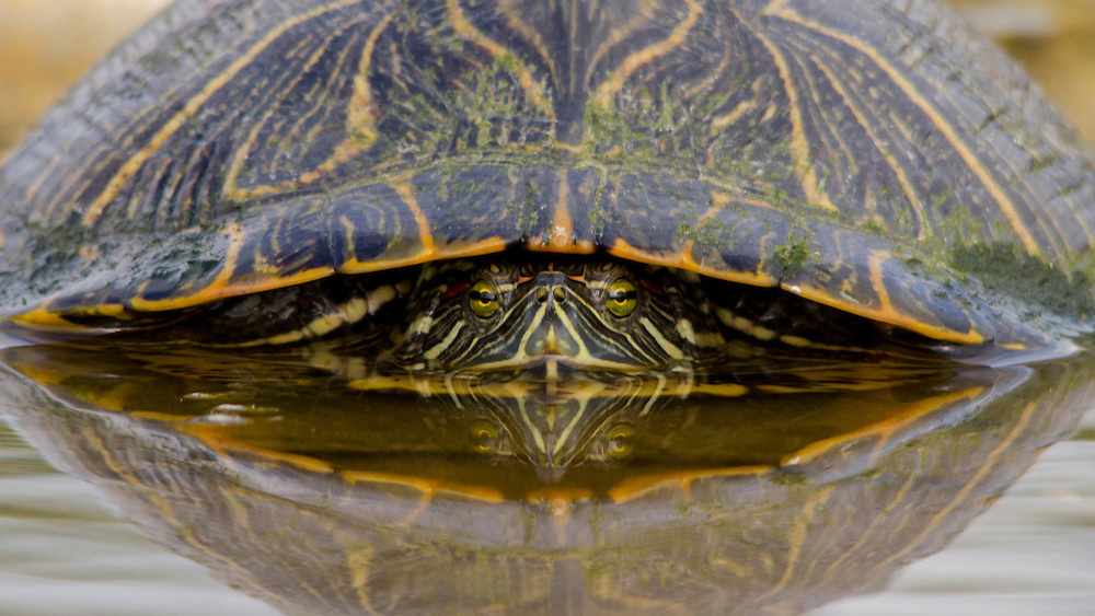 Pond Slider, Trachemys Scripta;<br />
