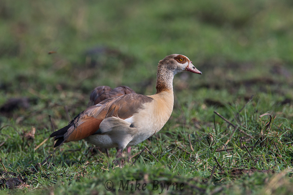 Egyptian goose in Chobe National Park, Botswana.