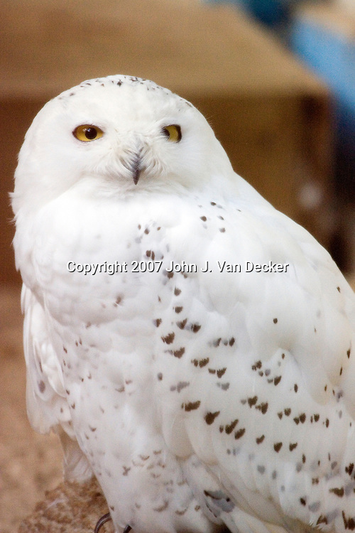 Snowy Owl, Bubo scandiacus,....Photo taken at The Raptor Trust, one of the premier, privately funded wild bird rehabilitation centers in the United States. The Raptor trust is recognized as a national leader in the fields of raptor conservation and avian rehabilitation. raptors, birds
