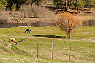 Horses, Paint mare and foal, grazing, pigs, geese, Monture Creek, west of Ovando, Montana
