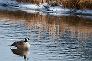 A lone Canada Goose floats along near the National Elk Refuge at Grand Teton National Park.