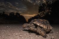 Texas Tortoise, Gopherus berlandieri;<br /> Photographer:  Hector Astorga <br /> Property:  Santa Clara Ranch / Beto &amp; Clare Gutierrez <br /> Starr County