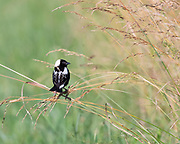 Male Bobolink, this photo shows his beautiful back feather detail
