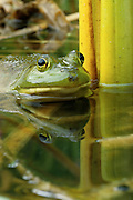 Bullfrog (Rana catesbeiana) in swamp.
