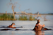 Two Hippos yawning. Confluence of Chongwe and Zambezi rivers. Lower Zambezi National Park. Zambia. Africa