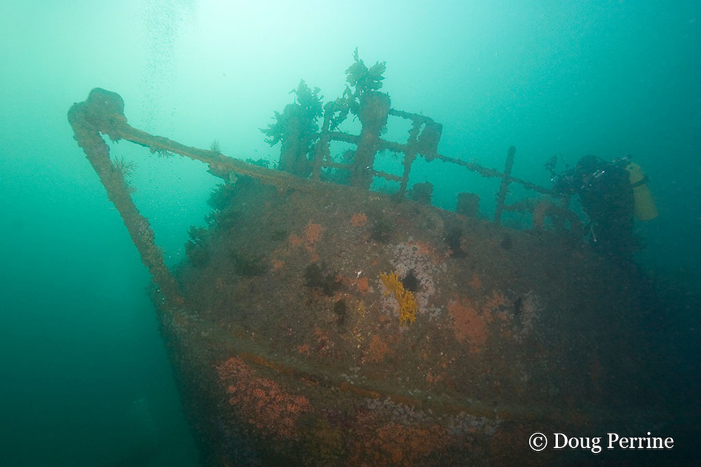 underwater photographer finds macro subjects on the stern of the Rainbow Warrior wreck, Cavalli Islands, off North Island, New Zealand ( South Pacific Ocean )