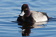 Canada, British Columbia, Vancouver, Stanley Park, Lesser Scaup drake (Aythya affinis)