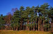 A08JPF Pine trees Rendlesham forest Suffolk England