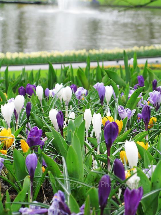 Crocus blooms at Keukenhof, Holland