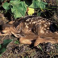 Mule deer fawn. Wildhorse Island, Flathead Lake, Montana.