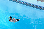 A male mallard duck (Anas platyrhynchos) swimming in a residential pool. Oregon