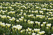 Creamy white tulip flowers bloom in the Skagit River Delta, Washington, USA between the towns of Mount Vernon and La Conner.