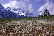 Krokus Flowers on Grabserberg, Swiss Alps, St.Gallen Canton, Switzerland,