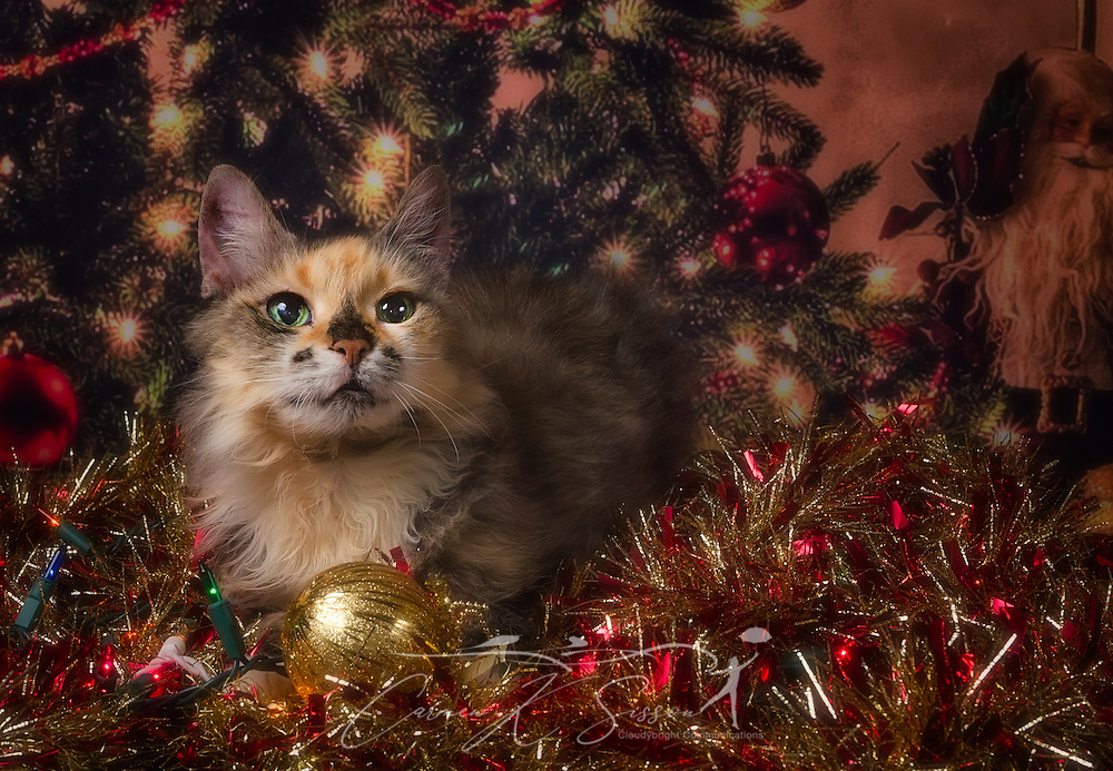 Lily, a long-haired tortoiseshell mix, poses for a Christmas portrait, January 17, 2017, in Coden, Alabama. (Photo by Carmen K. Sisson/Cloudybright)