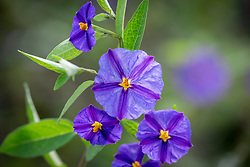 Lycianthes rantonnetii AGM syn. Solanum rantonnetii. Blue potato bush