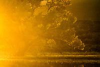 Cottonwood [Populus fremontii] in autumn at sunset; Bosque del Apache NWR., NM