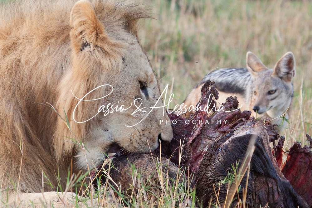 Male lions had to defend the rest of a carcass they were still finishing from a big hyena clan and mischievous jackals.