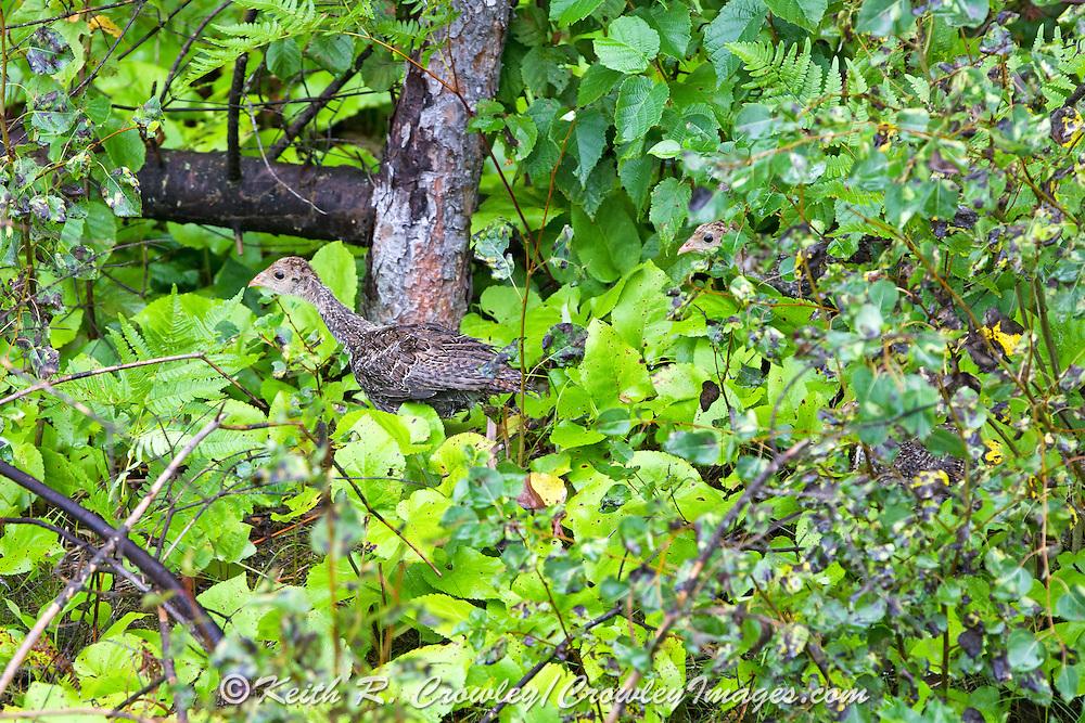 Young ruffed grouse move through woodland habitat