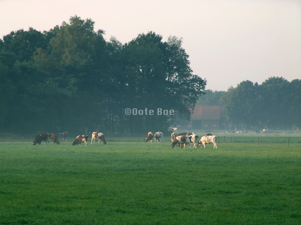 cows in an open field Holland