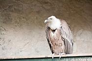 Griffon Vulture (Gyps fulvus) at Burg Hohenwerfen, Salzburgerland, Austria © Rudolf Abraham