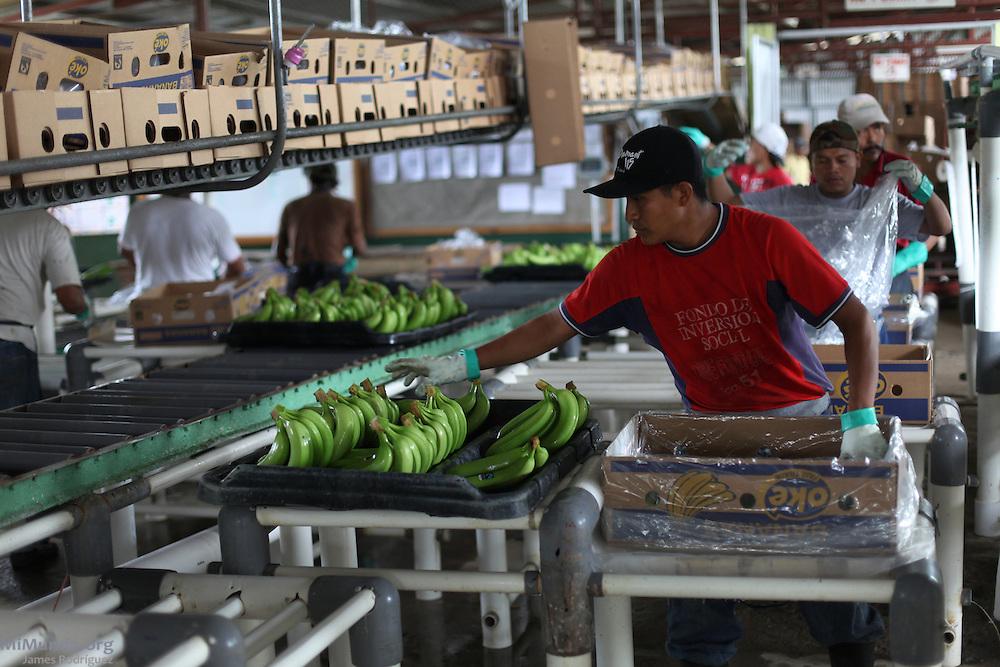 Efraín Vargas, Ngäbe member of COOBANA, packs fair-trade banana hands into an export box. COOBANA, Finca 51, Changuinola, Bocas del Toro, Panamá. September 3, 2012.