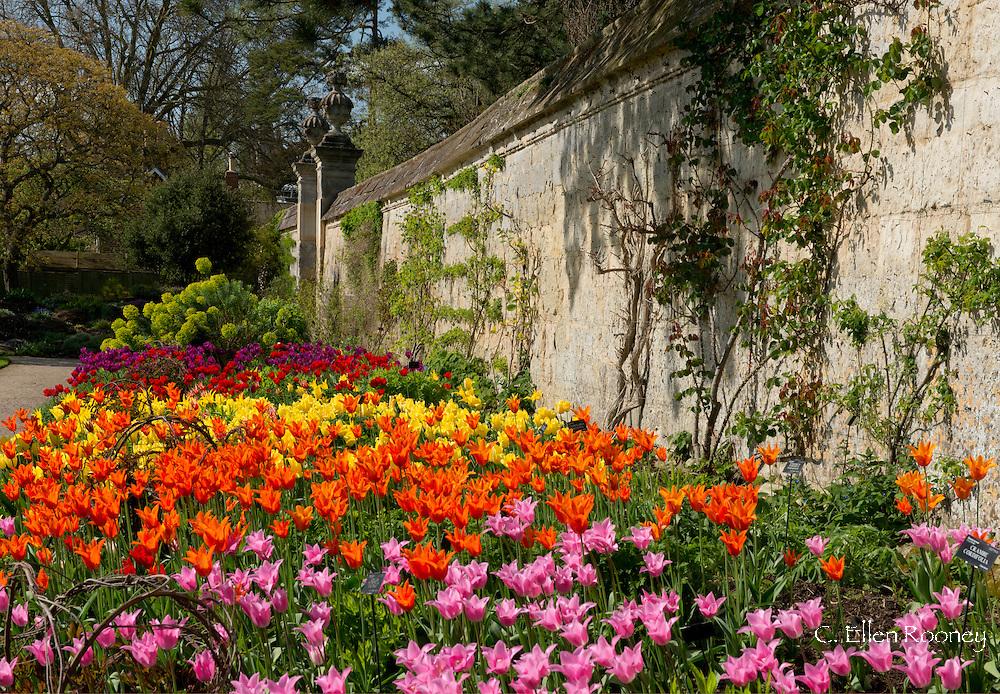 Tulips in the walled garden at the Oxford Botanical Garden, Oxford, UK