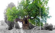 The ancient Crouch Oak (Quercus robur). Addlestone, Surrey, UK.<br /> <br /> This tree once marked the perimeter of Windsor Great Park and is thought to date from the 11th Century, which would make it in excess of 900 years old and possibly the oldest oak in Surrey.