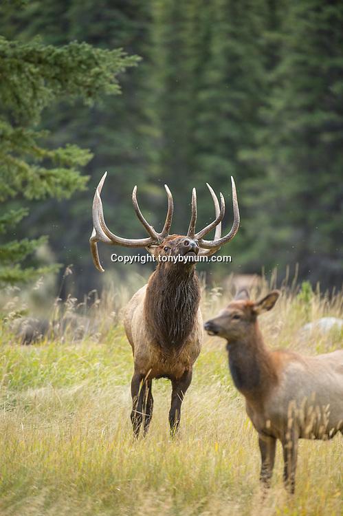 bull elk wapiti agressive charging rutting