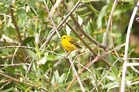 Safety for songbirds is deep in the branches of trees and bushes that true even with the Yellow Warblers.
