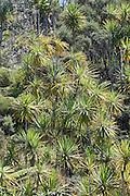 Cabbage Tree, Tiritiri Matangi, New Zealand