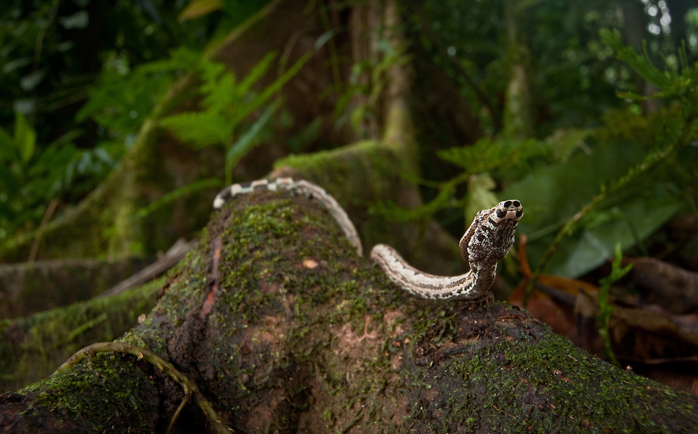 Solomon Islands Ground Boa, Candoia carinata paulsoni, on butress root on Tetapare