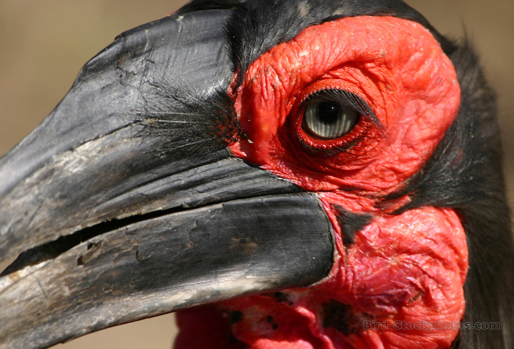 Southern Ground Hornbill, Bucorvus leadbeateri, South Africa, by Markus Lilje