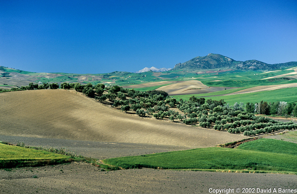 Olive trees & wheat field, Provence of Cadiz, Andalusia,.Spain