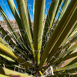 Mojave Yucca (Yucca schidigera), Boy Scout Trail, Joshua Tree National Park, California, US