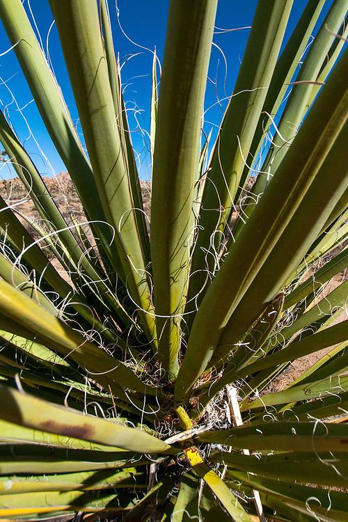 Mojave Yucca (Yucca schidigera), Boy Scout Trail, Joshua Tree National Park, California, US