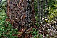 Six foot diameter western larch. Kootenai National Forest in the Purcell Mountains, northwest Montana.