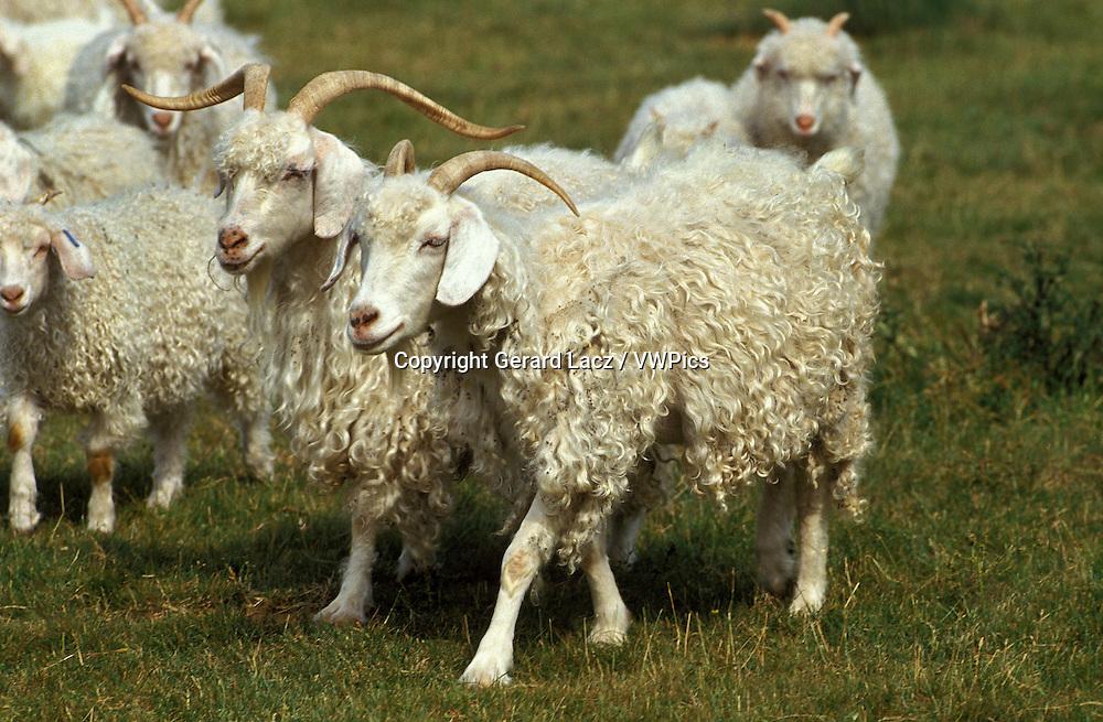Angora Goat, Breed Producing Mohair Wool
