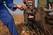 Mozambique & Malawi Buffalo Capture