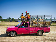 17 FEBRUARY 2018 - BAN LOT, PHETCHABURI, THAILAND: A pickup truck full of children and oxen arrive at the ox cart races in Ban Lat, about 3 hours from Bangkok. The ox cart races are almost 100 years old, and date back to the reign of King Rama V. The races are run on a 100 meter long straightaway course.   PHOTO BY JACK KURTZ
