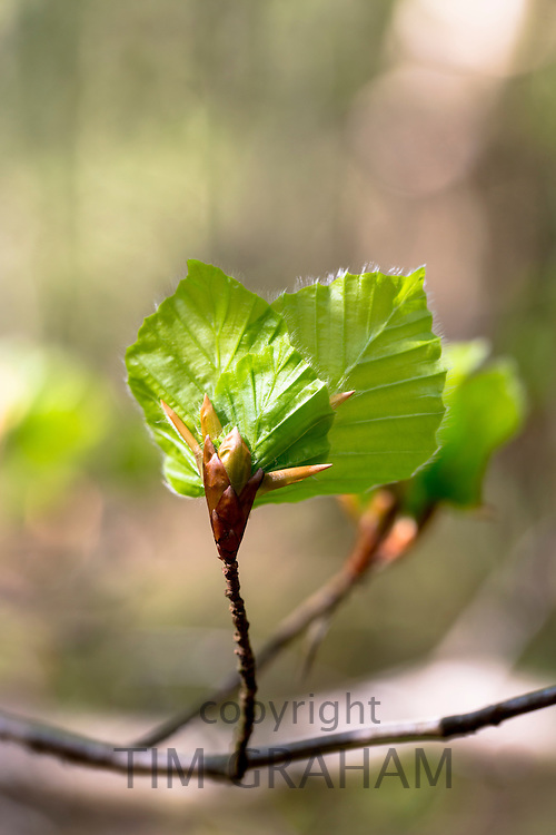 Beech leaf emerging from a bud,  Fagus sylvatica, as Spring turns to Summer in Bruern Wood in The Cotswolds, Oxfordshire, UK