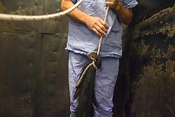 Kastratie, ontwaken uit narcose<br /> Dierenkliniek De Bosdreef - Moerbeke 2012<br /> © Dirk Caremans