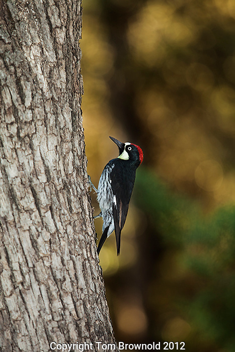 Acorn Woodpecker climbing up an oak tree