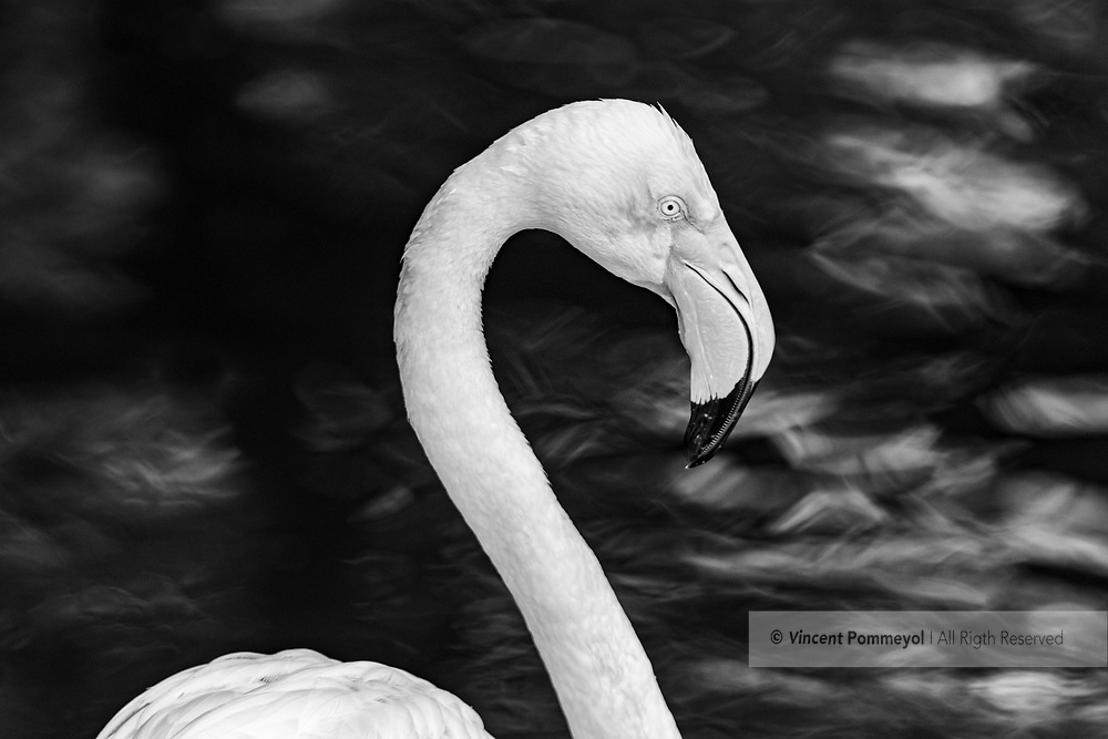 Greater flamingo-Flamant rose (Phoenicopterus roseus) of South Africa.