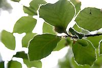 Beech tree leafs