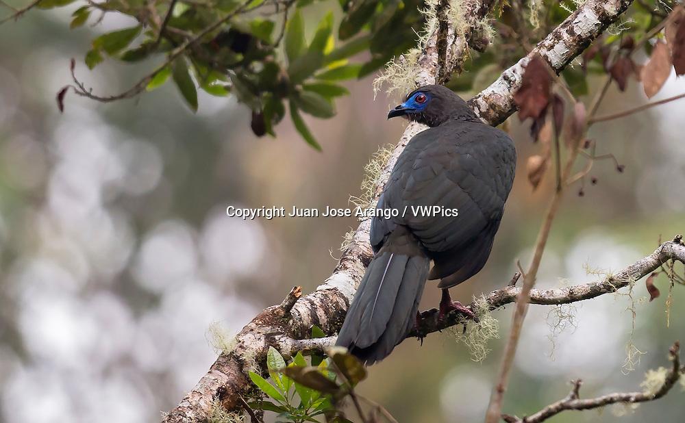 Sickle-winged Guan (Chamaepetes goudotii), Jardin, Antioquia