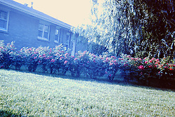 Flowers and home on S. Eighth St., Pekin Illinois -  circa 1962<br /> <br />  Photos taken by George Look.  Image started as a color slide.