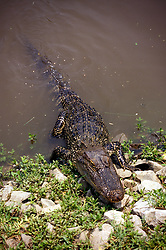 Orange, Texas:  An alligator comes ashore seeking dinner or some time in the sun. Vertical.
