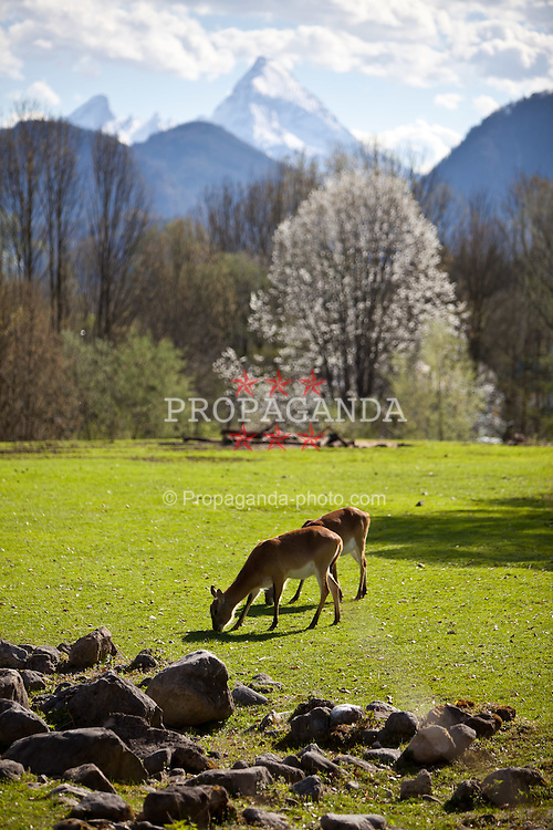 07.04.2011, Zoo, Salzburg, AUT, ZOO SALZBURG, im Bild Litschi-Wasserböcke beim Grasen //  Waterbucks pictured at Zoo Salzburg, with the Mountains in the background, Austria, 04/07/2011, EXPA Pictures © 2011, PhotoCredit: EXPA/ J. Feichter